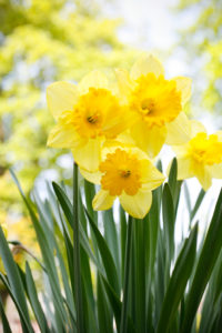 Daffodil Photo